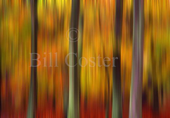 Beech Trees Autumn Abstract